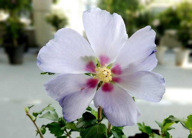 шаронская роза