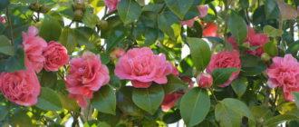 камелия цветы